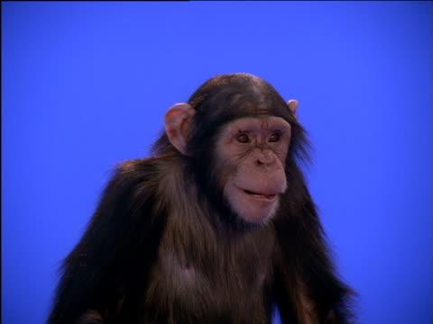 vídeos y material grabado en eventos de stock de chimpanzee chewing, looking around, then turning away - postura