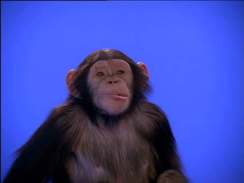 chimpanzee chews, looks up then stands - postura video stock e b–roll