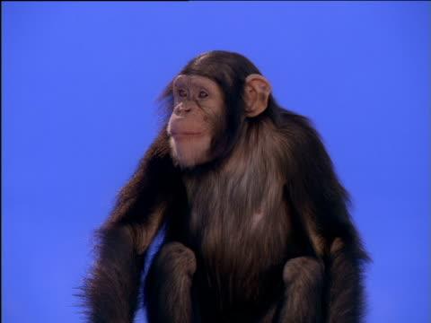 vídeos y material grabado en eventos de stock de chimpanzee chews - postura