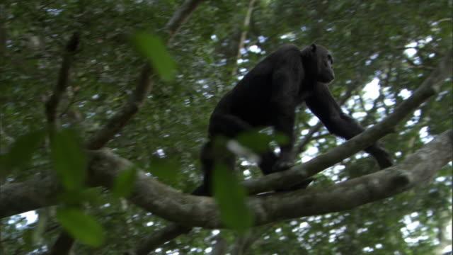 Chimpanzee (Pan troglodytes) clambers and swings in tree, Uganda
