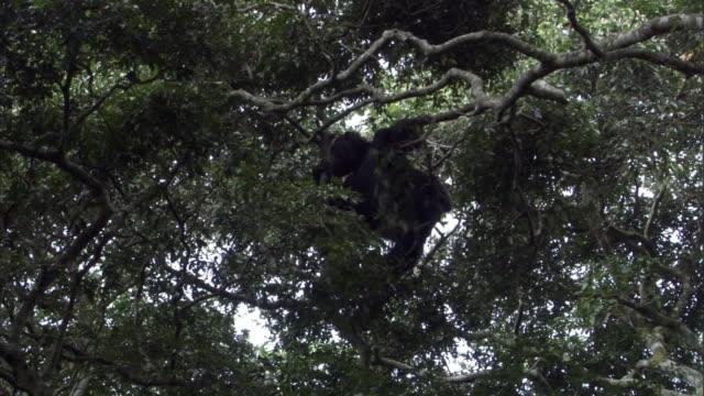 chimpanzee (pan troglodytes) clambers in trees, uganda - common chimpanzee stock videos & royalty-free footage