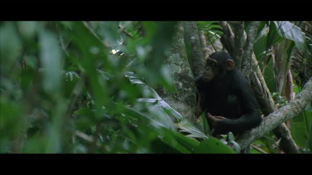 vídeos de stock e filmes b-roll de ws ds chimpanzee clapping on tree - animais selvagens