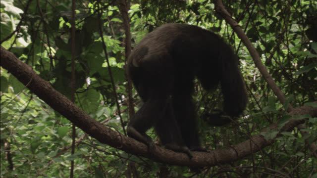 vídeos de stock, filmes e b-roll de chimpanzee (pan troglodytes) climbs along branch in forest, senegal - trepadeira