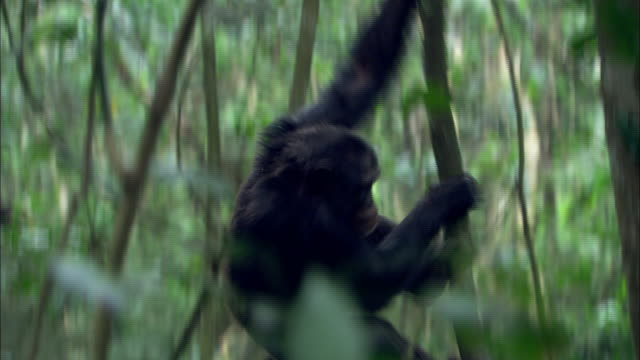 a chimpanzee climbs down a tree and knuckle walks away. - climbing stock videos & royalty-free footage