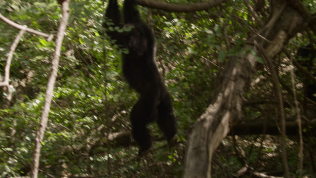 chimpanzee (pan troglodytes) climbs into trees in forest, senegal - swinging stock videos & royalty-free footage