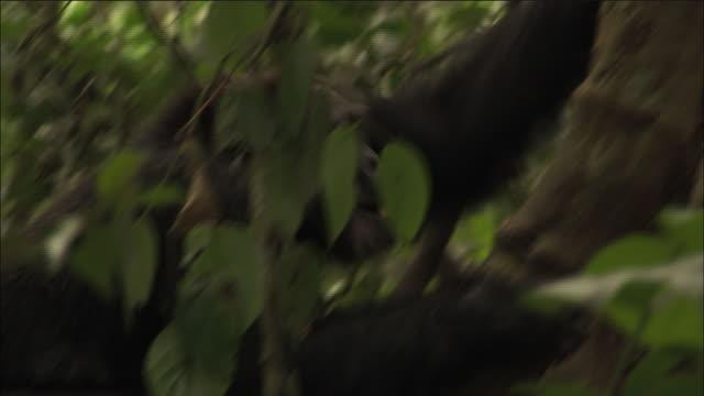 chimpanzee climbs tree in forest, kibale, uganda - よじ登る点の映像素材/bロール