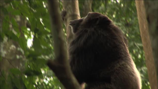 chimpanzee climbs tree in forest, kibale, uganda - common chimpanzee stock videos & royalty-free footage