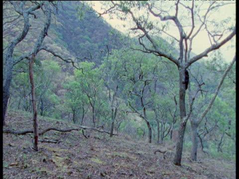 vídeos y material grabado en eventos de stock de chimpanzee climbs tree to act as lookout, second chimpanzee drops down from tree in background, flies buzz around near to camera, gombe national park, tanzania - parque nacional de gombe stream