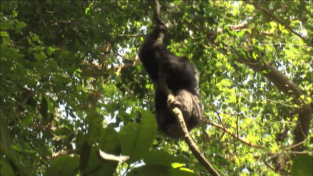 chimpanzee climbs vine in forest, kibale, uganda - common chimpanzee stock videos & royalty-free footage