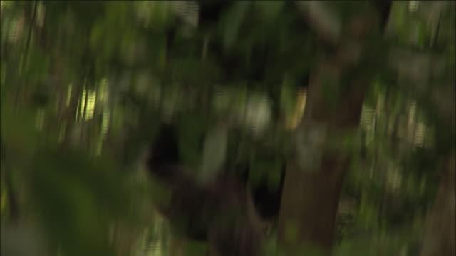 chimpanzee climbs vine in forest, kibale, uganda - よじ登る点の映像素材/bロール