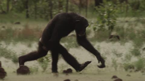 vidéos et rushes de chimpanzee (pan troglodytes) crosses forest clearing, senegal - chimpanzé