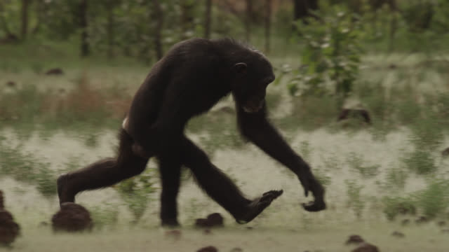 chimpanzee (pan troglodytes) crosses forest clearing, senegal - primate stock videos & royalty-free footage