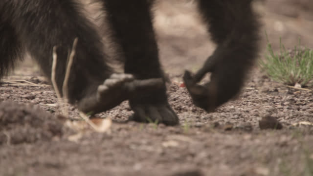 chimpanzee (pan troglodytes) crosses forest clearing, senegal - chimpanzee stock videos & royalty-free footage