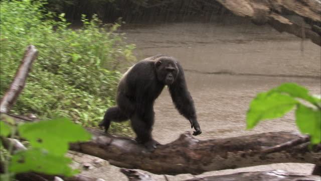chimpanzee (pan troglodytes) crosses river on fallen tree in rain, kyambura gorge, uganda - common chimpanzee stock videos & royalty-free footage