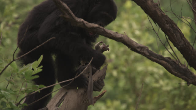 Chimpanzee (Pan troglodytes) dislodges galago from tree stump with stick, Senegal