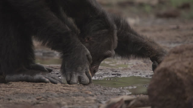 chimpanzee (pan troglodytes) drinks from pool in forest clearing, senegal - chimpanzee stock videos & royalty-free footage