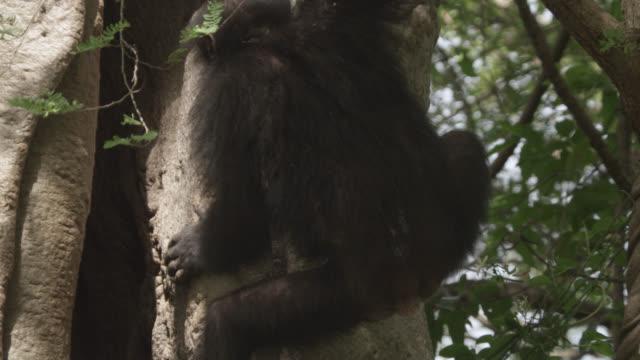 chimpanzee (pan troglodytes) drums feet on hollow tree trunk, senegal - chimpanzee stock videos & royalty-free footage