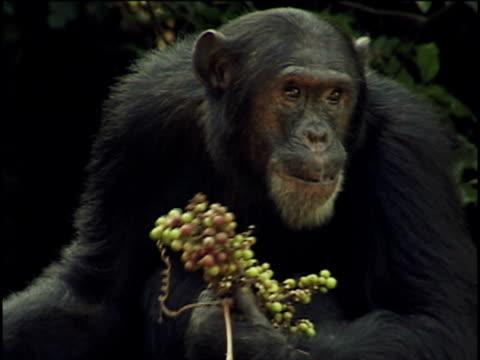 vídeos y material grabado en eventos de stock de ms, chimpanzee (pan troglodytes) eating fruits, gombe stream national park, tanzania - chimpancé común