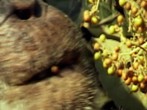 vídeos y material grabado en eventos de stock de e zo, chimpanzee (pan troglodytes) eating fruits, gombe stream national park, tanzania, ecu - parque nacional de gombe stream
