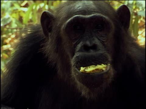 vídeos y material grabado en eventos de stock de cu, tu, chimpanzee (pan troglodytes) eating fruits, headshot, gombe stream national park, tanzania - parque nacional de gombe stream
