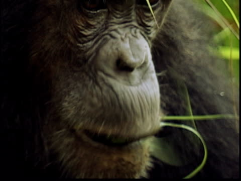 cu, chimpanzee (pan troglodytes) eating grass, gombe stream national park, tanzania - common chimpanzee stock videos & royalty-free footage