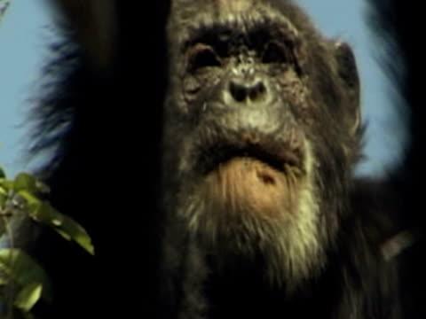 vídeos y material grabado en eventos de stock de cu, zo, chimpanzee (pan troglodytes) eating leaves on tree, gombe stream national park, tanzania - parque nacional de gombe stream