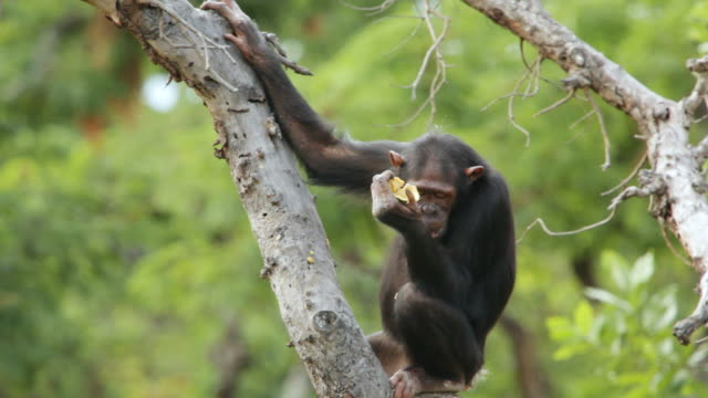 MS Chimpanzee eating on top of tree and climbing down / Chingola, Copperbelt, Zambia