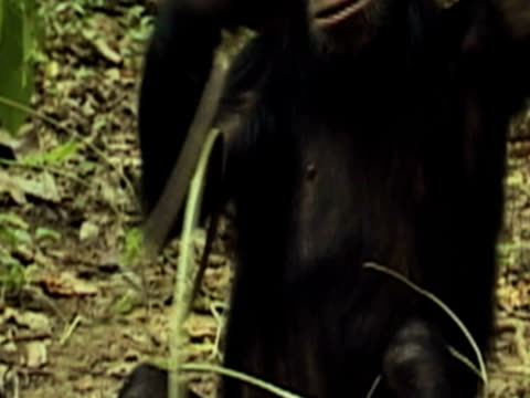 cu, chimpanzee (pan troglodytes) eating twigs from tree, mid section, gombe stream national park, tanzania - branch plant part stock videos & royalty-free footage