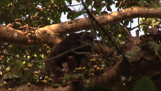 vídeos y material grabado en eventos de stock de chimpanzee eats figs in tree, kibale, uganda - chimpancé común
