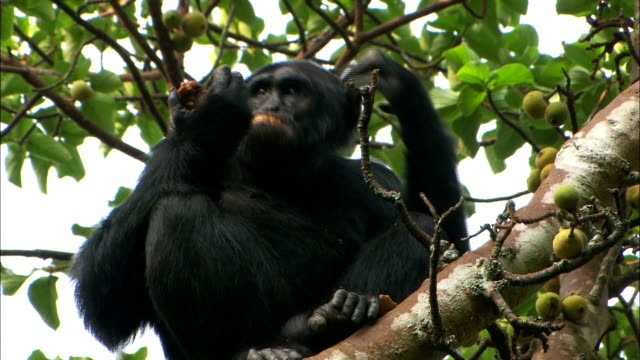 a chimpanzee eats fruit and scratches its head in a tree. - chimpanzee stock videos & royalty-free footage