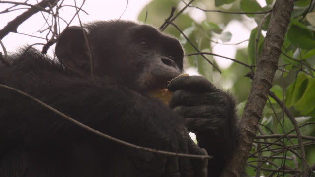 chimpanzee (pan troglodytes) eats fruit in forest, senegal - branch plant part stock videos and b-roll footage