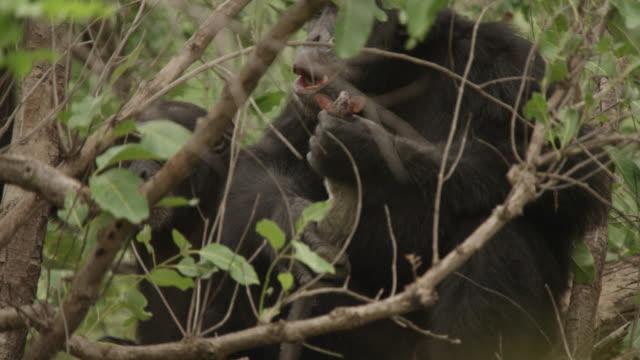 chimpanzee (pan troglodytes) eats galago prey in forest, senegal - common chimpanzee stock videos & royalty-free footage