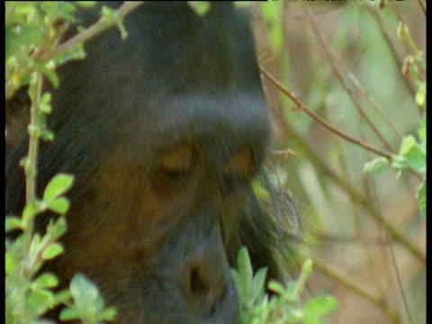 chimpanzee eats leaves, gombe national park, tanzania - common chimpanzee stock videos & royalty-free footage