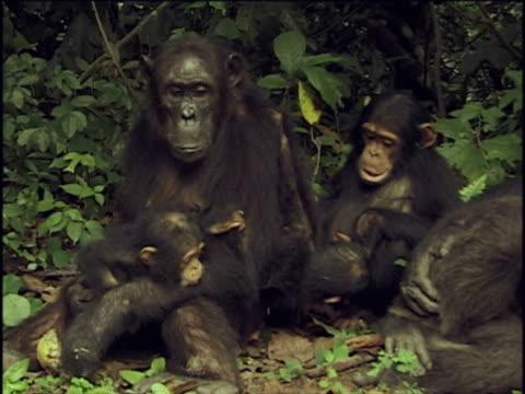 ms, chimpanzee (pan troglodytes) family sitting on ground in forest, gombe stream national park, tanzania - common chimpanzee stock videos & royalty-free footage