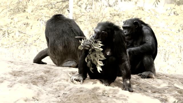 vídeos y material grabado en eventos de stock de chimpancé familia - chimpancé