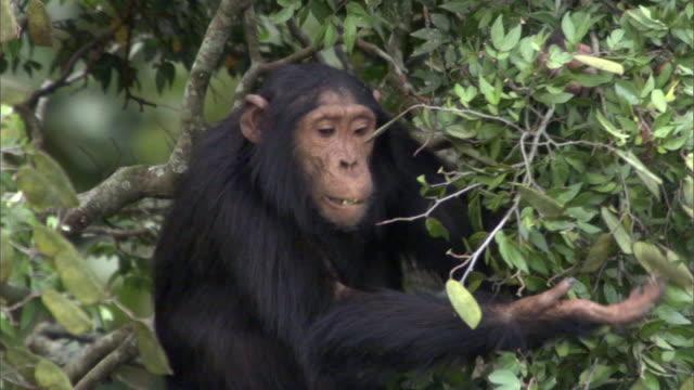 vídeos y material grabado en eventos de stock de chimpanzee (pan troglodytes) feeds in tree, kibale, uganda - chimpancé común