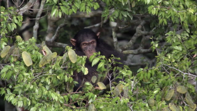 chimpanzee (pan troglodytes) feeds in tree, kibale, uganda - common chimpanzee stock videos & royalty-free footage