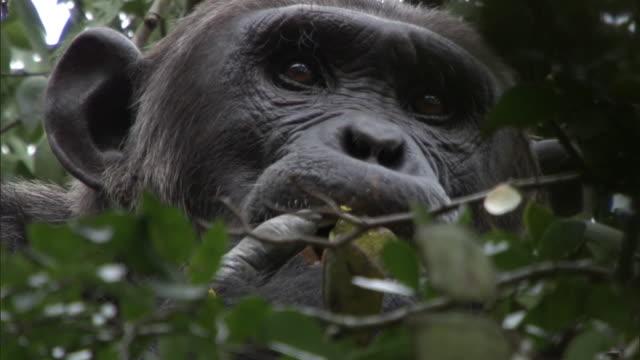 chimpanzee (pan troglodytes) feeds in tree, uganda - common chimpanzee stock videos & royalty-free footage