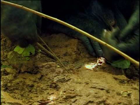 CU, TU, Chimpanzee (Pan troglodytes) fishing for termites, Gombe Stream National Park, Tanzania