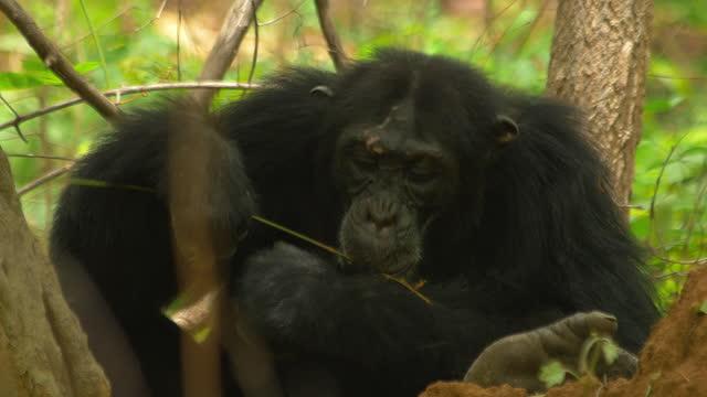 cu chimpanzee fishing for termites - twig stock videos & royalty-free footage