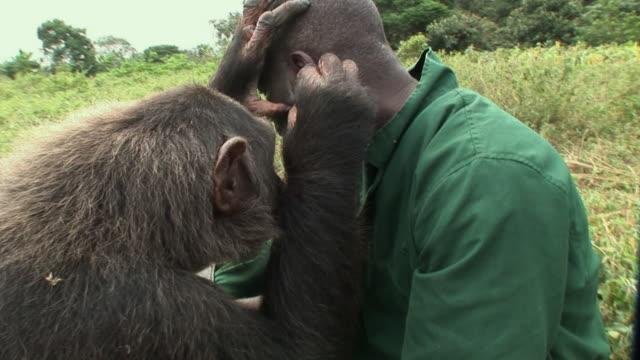 vidéos et rushes de ms chimpanzee grooming zoo keeper / ngamba chimp sanctuary, ngamba island, uganda - chimpanzé