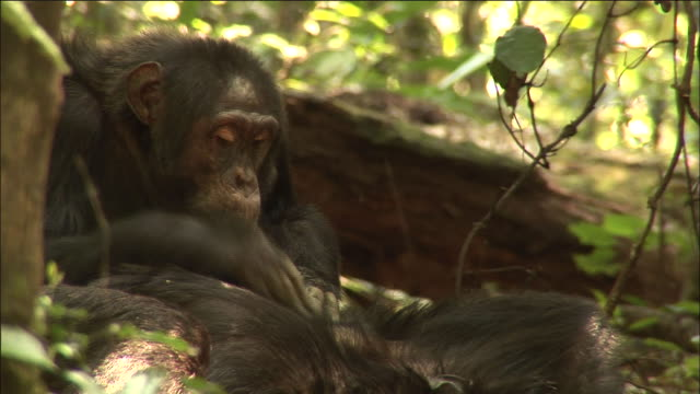 chimpanzee grooms another in forest, kibale, uganda - groom stock videos and b-roll footage