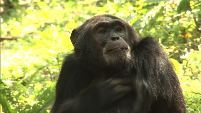 chimpanzee grooms in forest, kibale, uganda - common chimpanzee stock videos & royalty-free footage