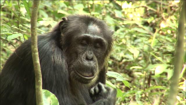 Chimpanzee grooms in forest, Kibale, Uganda