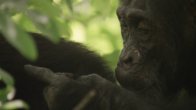 chimpanzee (pan troglodytes) grooms in forest, senegal - chimpanzee stock videos & royalty-free footage
