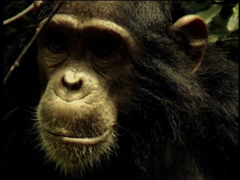 vídeos y material grabado en eventos de stock de cu, chimpanzee (pan troglodytes), headshot, gombe stream national park, tanzania - parque nacional de gombe stream