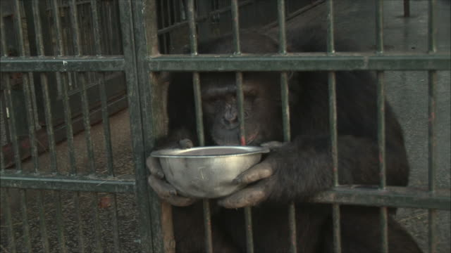 CU ZI Chimpanzee in cage drinking bowl of water / Ngamba Chimp Sanctuary, Ngamba Island, Uganda