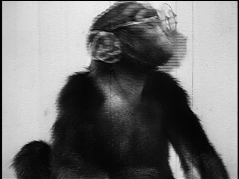 b/w 1945 chimpanzee in eyeglasses shaking head - yorkville illinois stock videos & royalty-free footage
