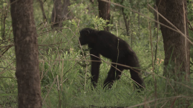 chimpanzee (pan troglodytes) in forest, senegal - chimpanzee stock videos & royalty-free footage