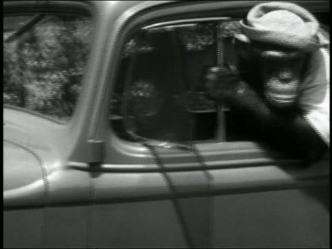 b/w 1939 chimpanzee in hat driving car + leaning out window / short - performing tricks stock videos & royalty-free footage